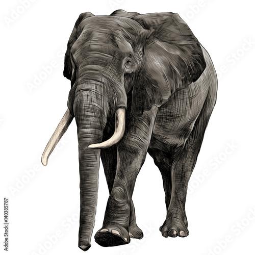 Fototapeta elephant in full growth, moving forward, sketch graphics vector, color illustration obraz na płótnie