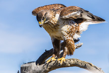 Ferruginous Hawk In Tucson Arizona