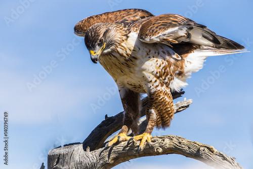 Photo  Ferruginous Hawk in Tucson Arizona
