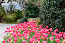 Pink Tulips In Garden By Stone Pathway With Redbud Trees And Shrubs