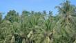 Tops of Coconut Trees near a Tropical Beach