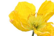 Yellow Poppy Flower On White #2