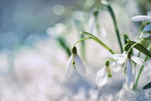 Gentle Spring Snowdrop Flower In Melting Snow. The First Spring Snowdrops In A Forest Glade. Close-up.  Soft Focus