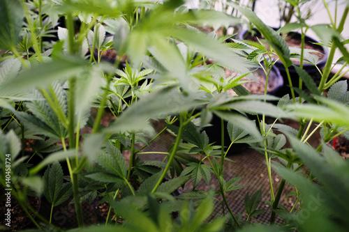 Papiers peints Vegetal Close up of cannabis plants.
