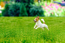 Happy Active Dog Playing At  Colorful Garden Lawn