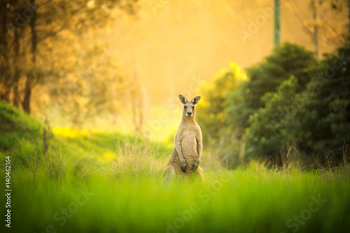 Foto op Canvas Kangoeroe Kangaroos at sunset