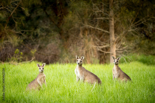 Fotobehang Kangoeroe Kangaroos at sunset, hiding in the grass
