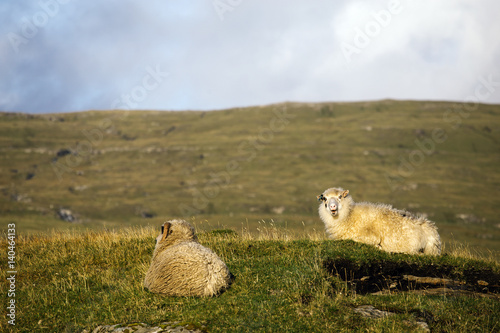 Spoed Foto op Canvas Wit Two Sheep sleeping in grass on a side of a hill