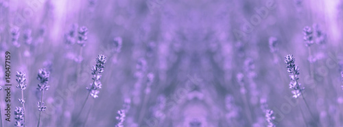 Spoed Fotobehang Lavendel wild field lavender