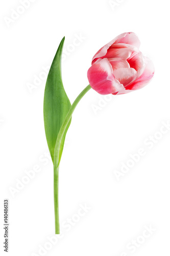 Montage in der Fensternische Tulpen Red tulip with leave on a white background closeup