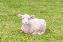 A Cute Lamb Is Lying In The Grass