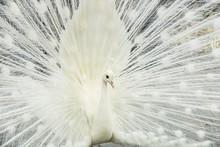 Beautiful White Male Peacock S...