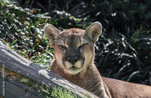 Staande foto Puma Puma