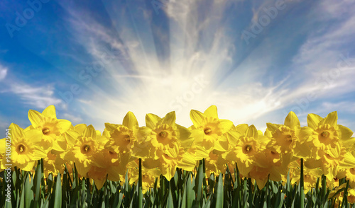 Beautiful Bright Spring Daffodils Wallpaper Mural