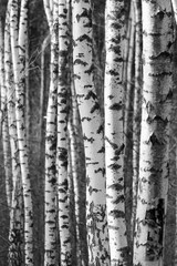 Fototapeta Birch tree trunks - black and white natural background