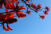 Red Exotic Blossoms Of Coral T...