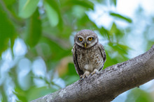 Spotted Owlet Or Athene Brama,...