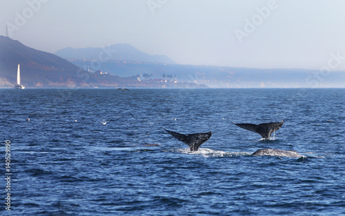 Two Gray Whales Off Point Loma, San Diego