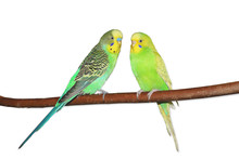Two Bright Green Budgerigars S...