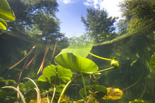 Beautiful Yellow Water Lily (nuphar Lutea) In The Clear Pound. Underwater Shot In The Lake. Nature Habitat. Underwater Landscape.