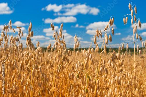 Foto op Plexiglas Platteland Field of oats in front of a blue sky. Harvest season