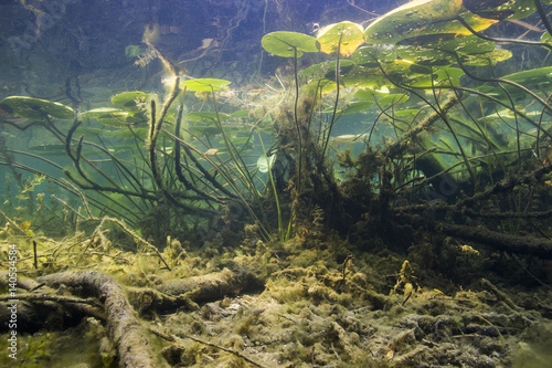 Photo Stands Water lilies Beautiful yellow Water lily (nuphar lutea) in the clear pound. Underwater shot in the lake. Nature habitat. Underwater landscape. Fresh water waterworld.