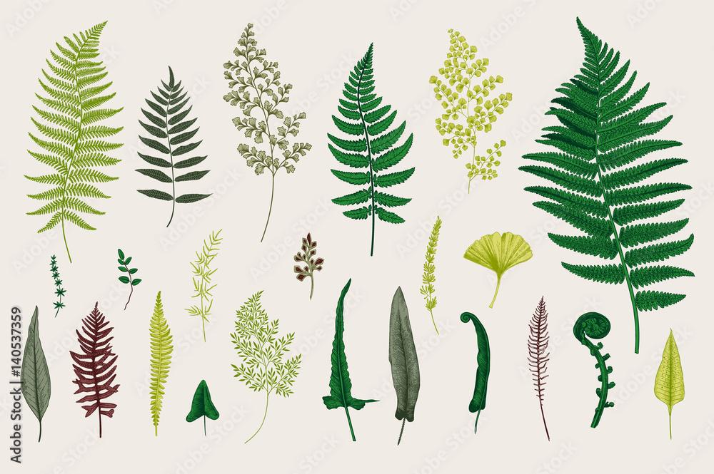 Fototapeta Set Ferns. Vintage vector botanical illustration. Colorful