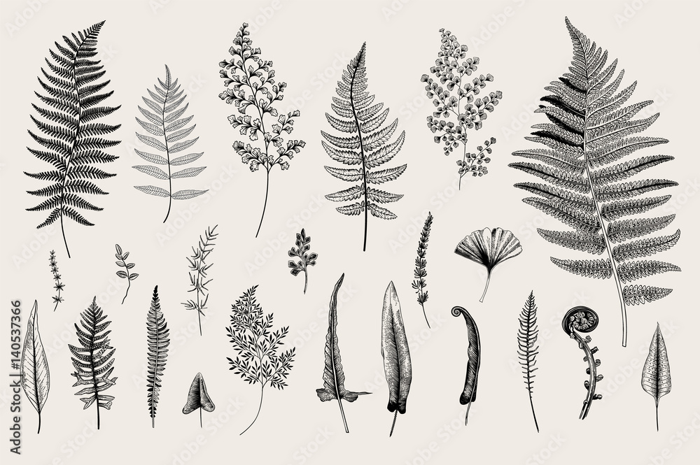 Fototapeta Set Ferns. Vintage vector botanical illustration. Black and white