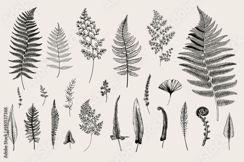 Billede på lærred Set Ferns. Vintage vector botanical illustration. Black and white