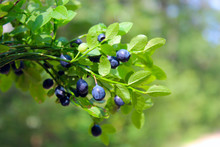 Branches With Bilberry In The ...