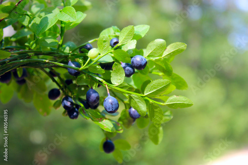 branches with bilberry in the forest Fototapeta