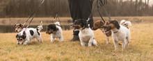 Spaziergang Mit Vielen Hunden - Rudel Jack Russell Terrier