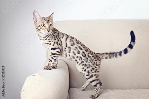Beautiful Bengal kitten on sofa in room Wallpaper Mural