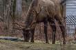 Elk eating at Cataloochee Valley, Great Smoky Mountains National Park, North Carolina