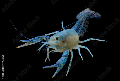 blue ghost crayfish isolated over black