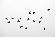 Flight Of Birds In The Wild. S...