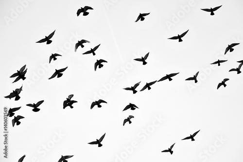 Flight of birds in the wild. Silhouette. Free. Freedom Wallpaper Mural