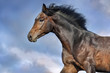 Bay stallion with long mane portrait in motion against beautiful sky