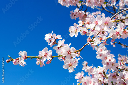 Beautiful blooming almond tree with flowers in full bloom in Santiago del Teide, Tenerife, Canarias Islands,Spain плакат