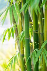 Obraz na Szklethe bamboo forest