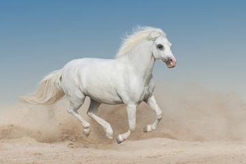 White welsh pony run gallop on sandy dust