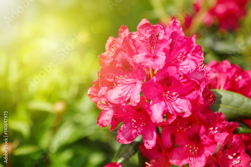 Beautiful red Rhododendron.