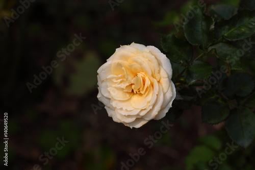 Photo  Beautiful Rose flower in the garden