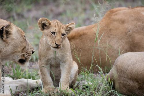 Fotografie, Obraz  Lion cub
