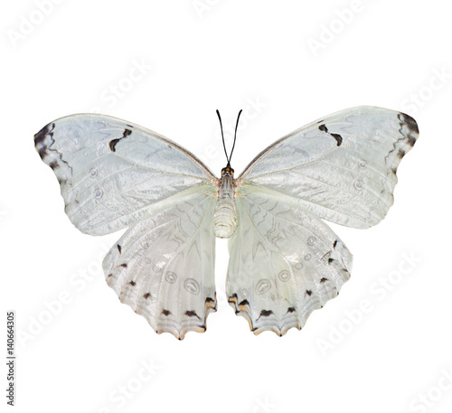 Beautiful white butterfly Morpho polyphemus isolated on a white Canvas Print