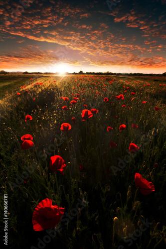 Fototapeta Beautiful sunset on the poppy field. Summer landscape. obraz na płótnie