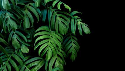 Zieleń liście Monstera rośliny dorośnięcie w dzikim, tropikalna lasowa roślina, wiecznozielony winograd na czarnym tle.