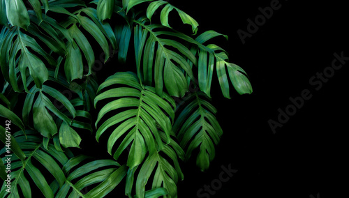 Valokuva  Green leaves of Monstera plant growing in wild, the tropical forest plant, evergreen vine on black background