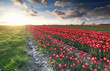 red tulip field and beautiful sky