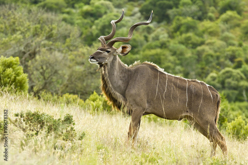 Large Kudu bull standing on a hill